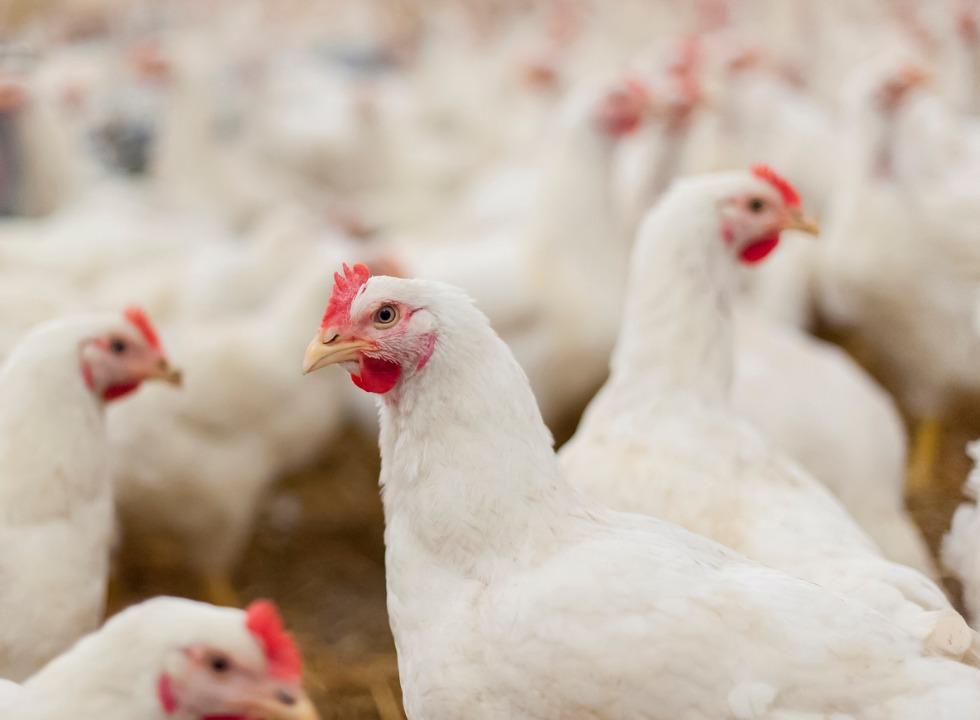 Vetado na Europa, frango com salmonela é revendido legalmente no Brasil